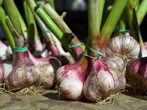 Culinate.com-hardneck-garlic