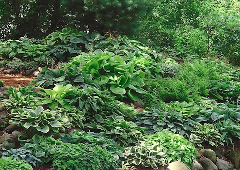 Dividing Plants in Fall - Hostas