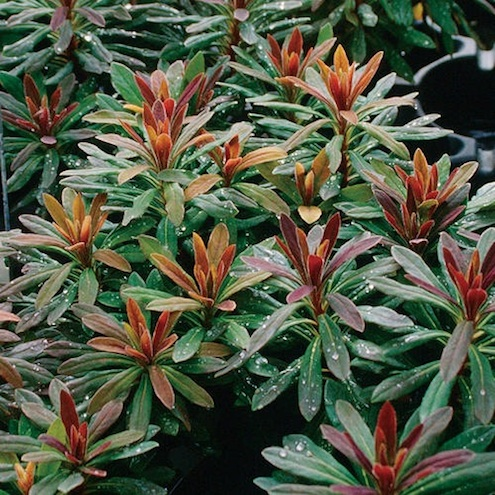 Fall Plants - Euphorbias