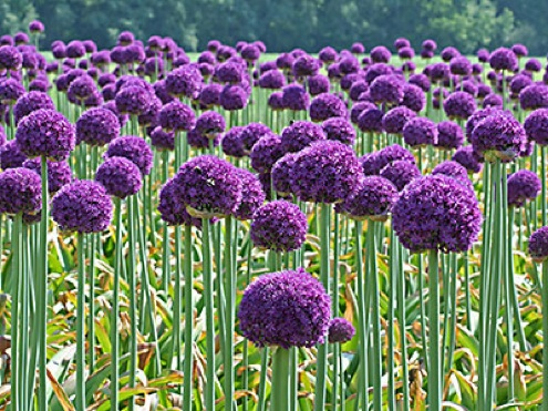 Planting for Fall - Alliums