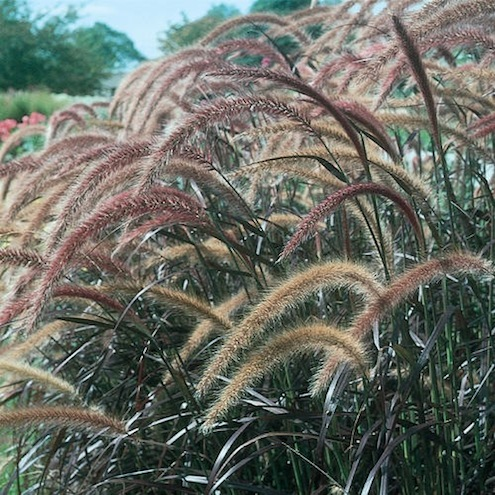 Fall Plants - Grasses