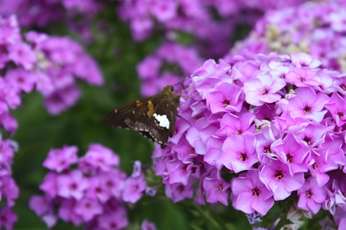 Dividing Plants in Fall - Phlox