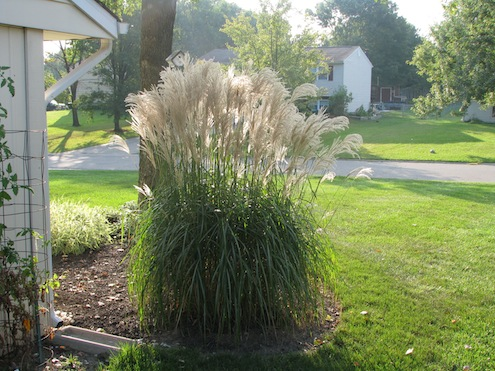 Ornamental Grasses - Maiden