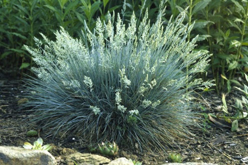 Ornamental grasses bob 39 s blogs for Blue ornamental grass varieties
