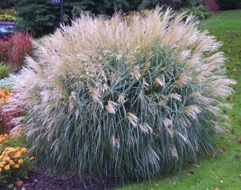 Ornamental grasses bob 39 s blogs for Ornamental oat grass varieties