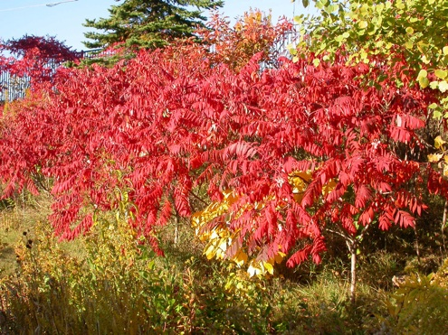 Fall Bushes - Sumac