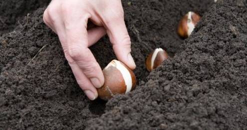How and When to Plant Garlic