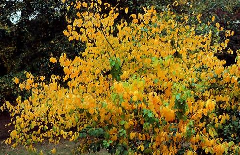 Fall Bushes - Spicebush