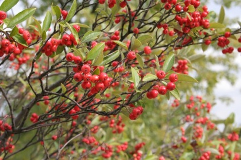 Fall Bushes - Chokeberries