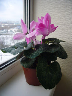 Indoor Plants Winter Care - Cyclamen