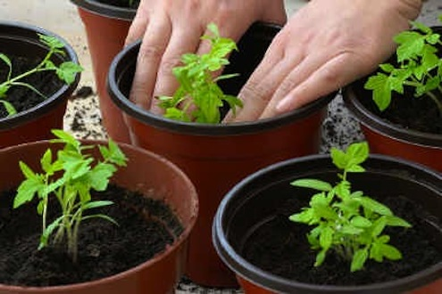 How To Grow Tomatoes From Seed Bob Vila