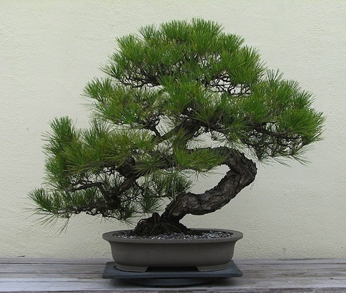 Bonsai Care - Juniper
