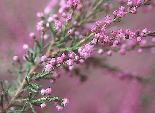 Spring Planting - Heather