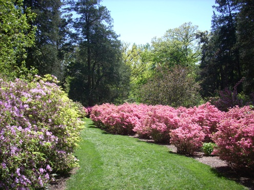 Azaleas Care - Winterthur