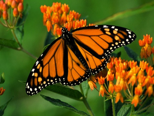 How to Make a Butterfly Garden - Monarch