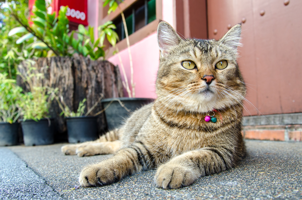 Cat at Phuket Old Town_378449800