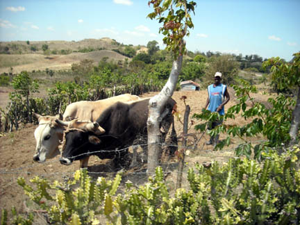 Farming here is done by hand, or using oxen if a family can  afford them.