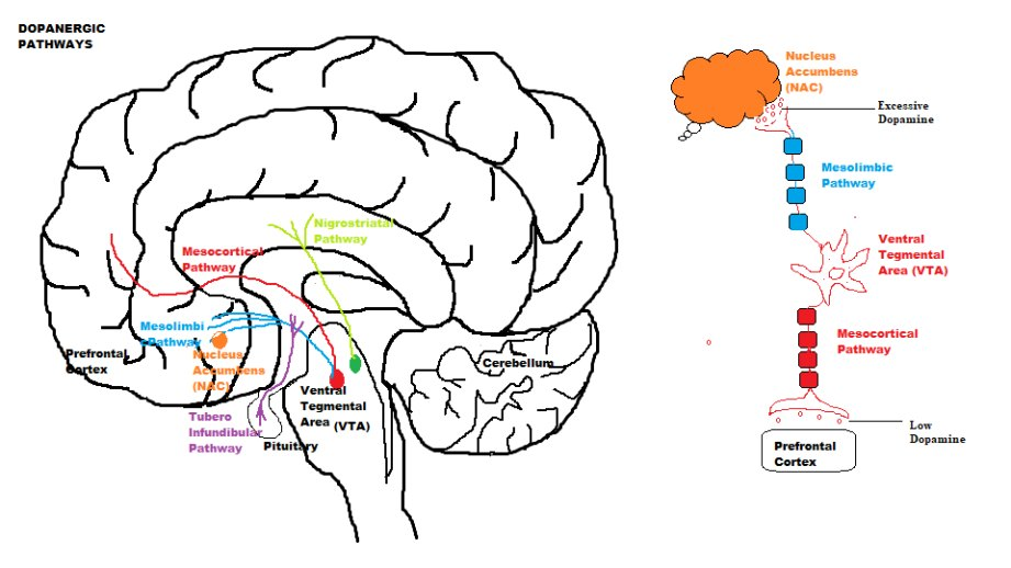 Anti psychotic drugs and the destruction of societys social fabric dopamine circuit neural pathway connecting the prefrontal lobe with the basal ganglia the pathway shown in brown on the diagram below ccuart Image collections