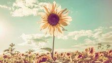 leader-sunflower_37505