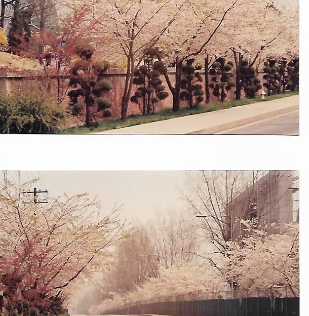 1990-CherryBlossom_yongsan_byJoeClancy