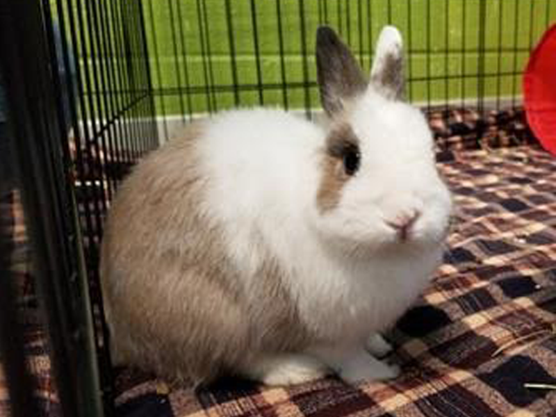 The New Classical FM Pet of the Week: Buttons the 3-year-old dwarf rabbit featured image