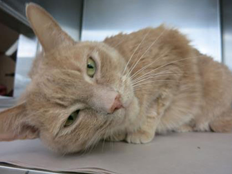 The New Classical FM Pet of the Week: Ty the 11-year-old male cat featured image