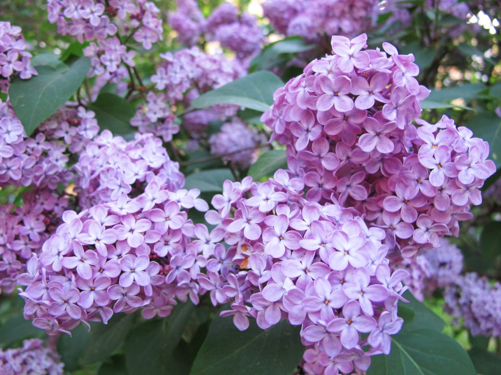 It's Spring…Get Ready To Enjoy The Intoxicating Smell Of Lilacs On Lilac Lane In Collingwood featured image