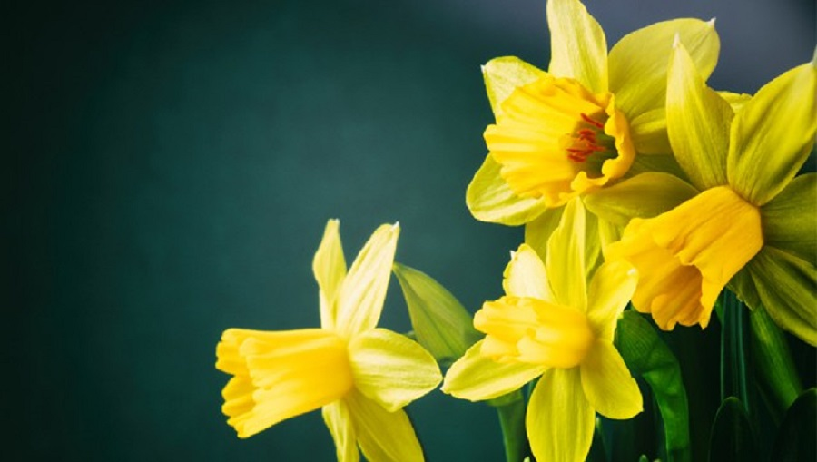 You Can Help Make A Difference In The Fight Against Cancer…April Is Daffodil Month featured image
