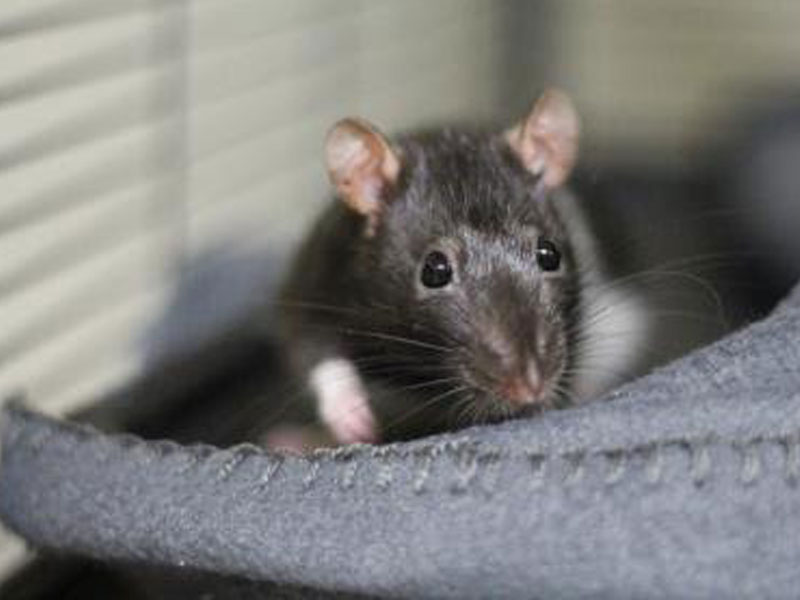 The New Classical FM Pet of the Week: Bleu and Cheese Puff the 10-month-old female rats featured image