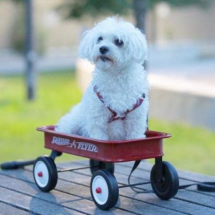 The New Classical FM Pet of the Week: Melo the 4-year-old Maltese Mix featured image