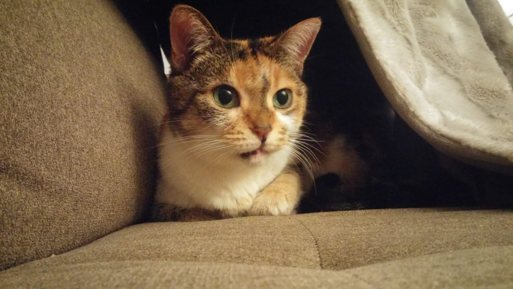 The New Classical Pet of the Week: Cherry, shameless feline poser. She's ready for close-ups at her forever home! featured image