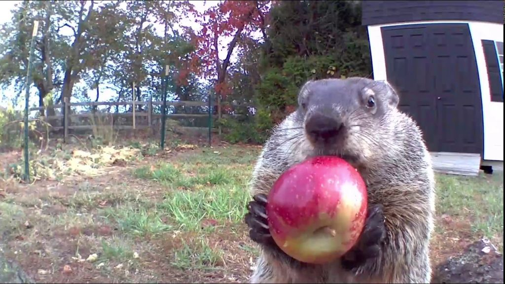 It's Groundhog Day on Sunday! Meet Chunk, who's too distracted with the vegetable patch to predict if we're getting more snow. featured image