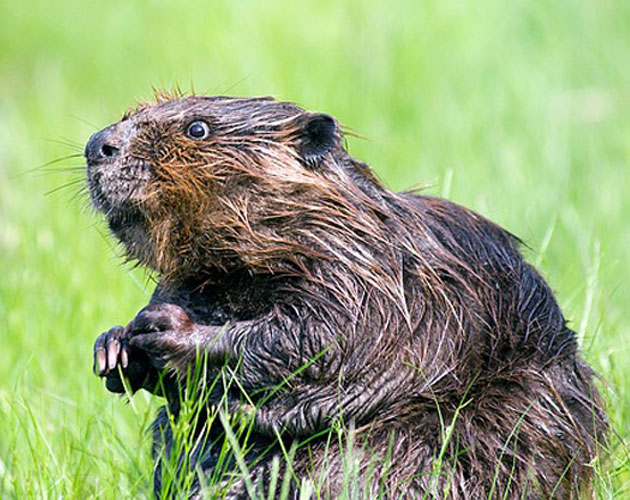 7 Reasons To Embrace The Beaver As Our National Animal Frances