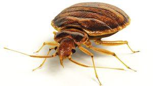 Study: Bedbugs May Be Attracted to Specific Colours