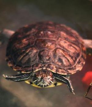 Zoomer Radio Pet of the Week: Warturtle, the 12-year-old Female Turtle