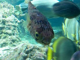 Puffer_fish_normal