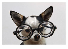 Chihuahua-wearing-eyeglasses_normal