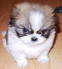 Angry_puppy_crop_normal