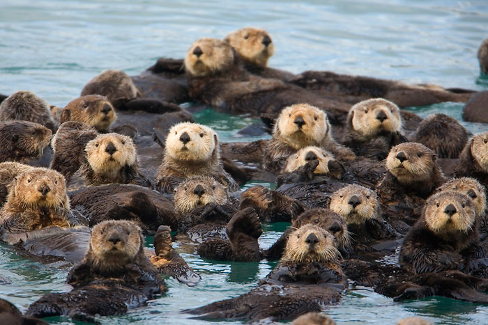 Did you know, a group of otters can be called a raft