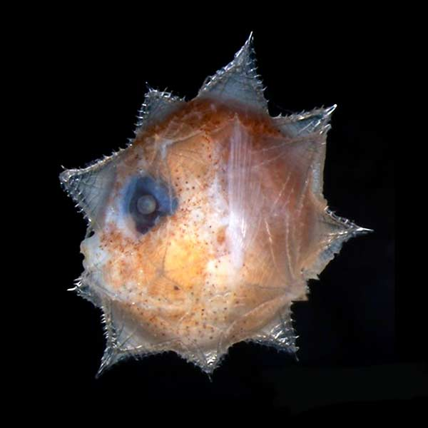 A baby sun fish or mola mola!