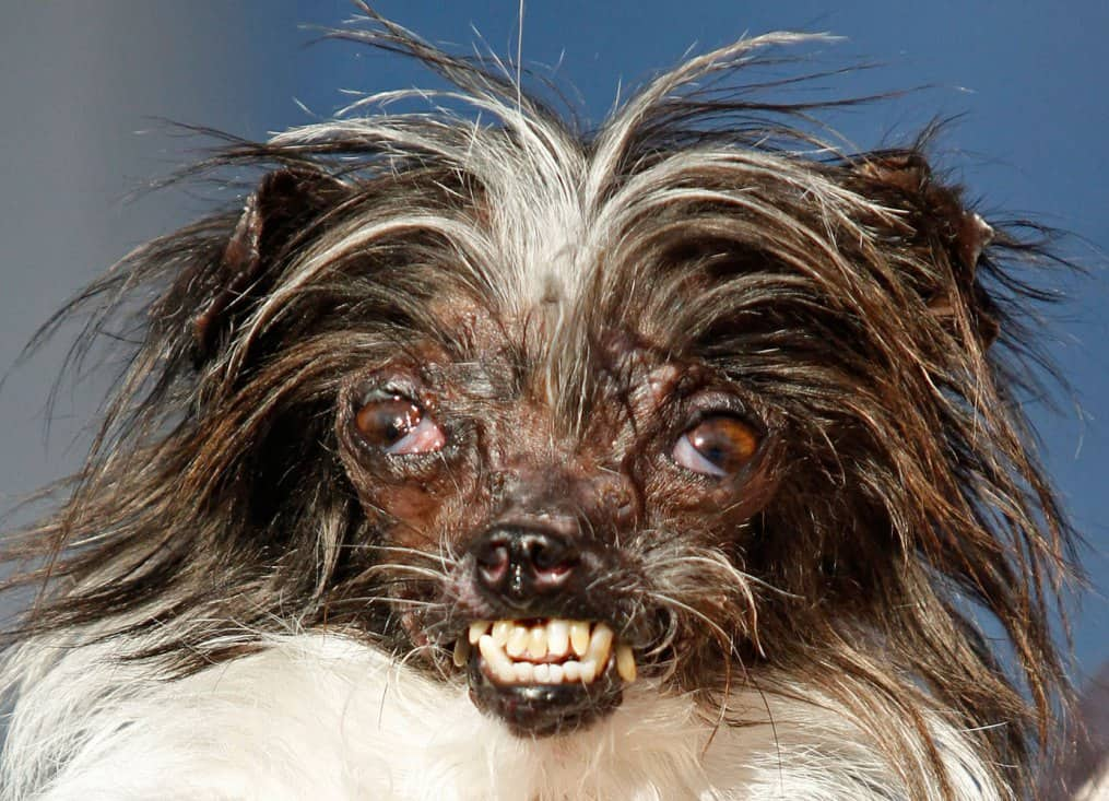 """World's Ugliest Dog"" Winner is a Mutt Without Lips or Eyelids"