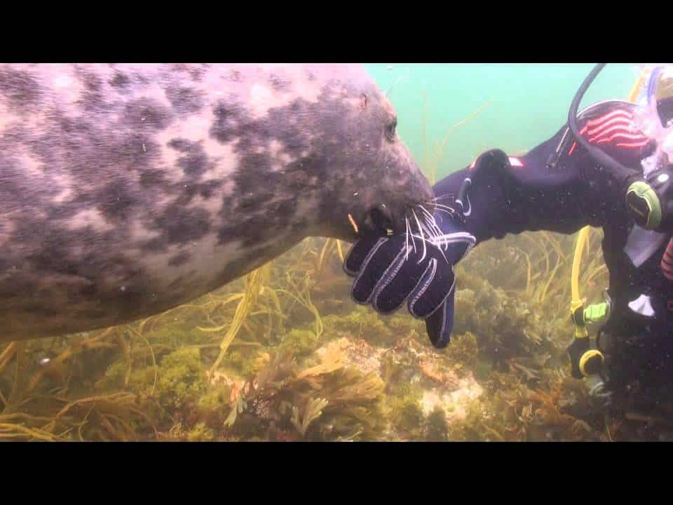 A Scuba Diver Gives a Seal Some Belly Rubs (Video)
