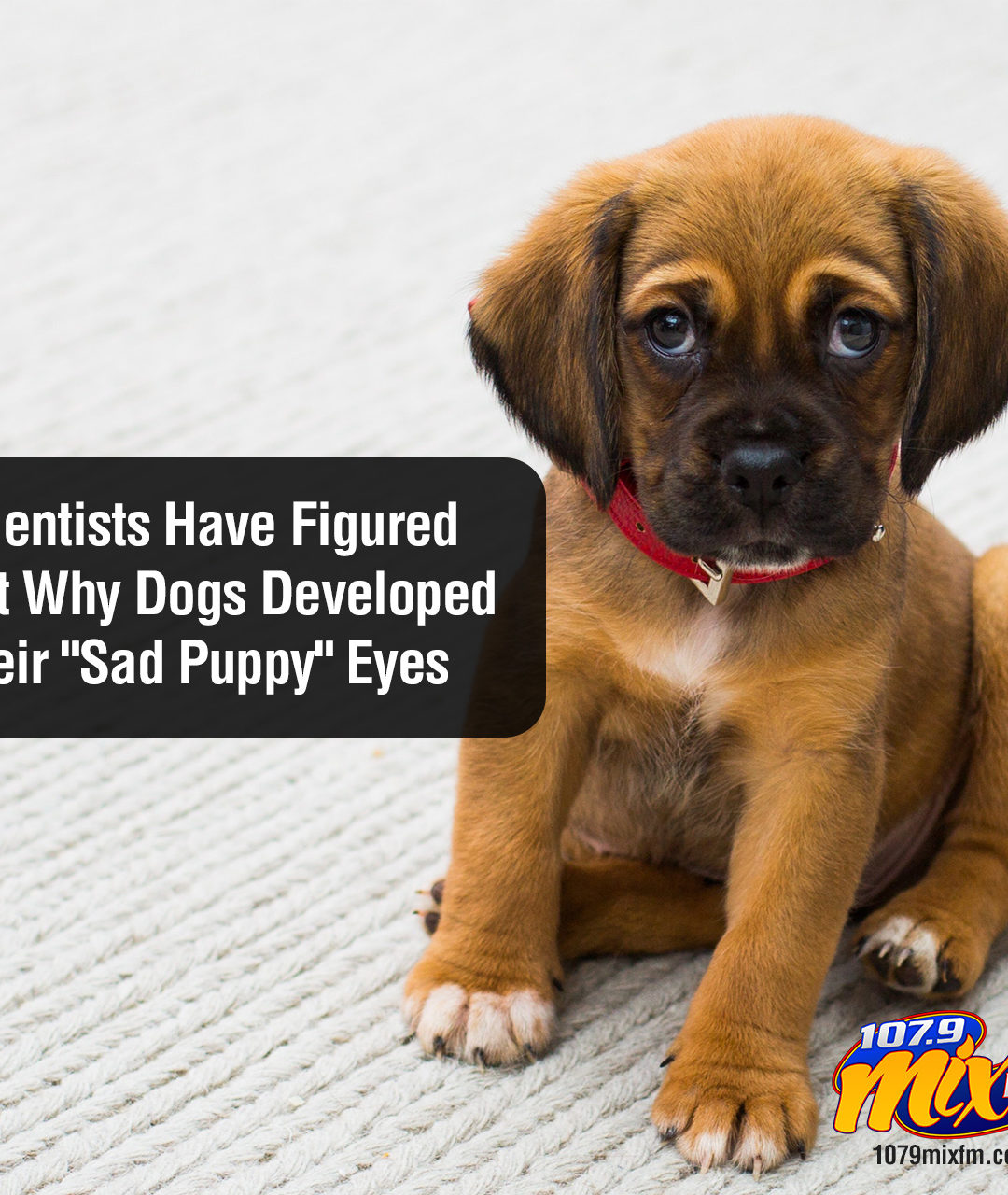 """Scientists Have Figured Out Why Dogs Developed Their """"Sad Puppy"""" Eyes"""