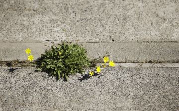 Weeds in a concrete driveway