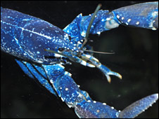 _45191361_blue_lobster_226.jpg