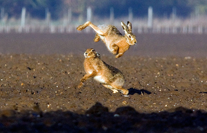 March_Hare4.jpg