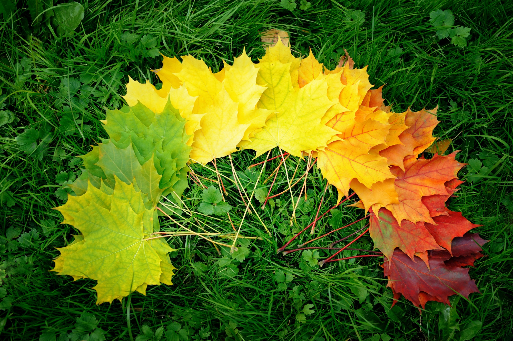 Autumn leafs colorful rainbow color gradient