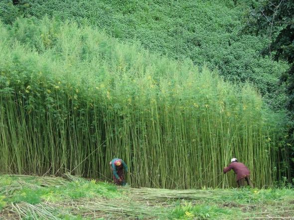Nytt Norge Cannabis hamp verdens viktigste plante