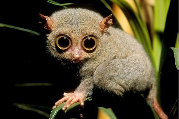 Truede filipinske tarsier verdens minste primat
