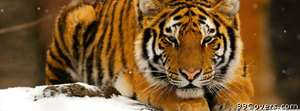tiger snow Facebook Cover Photo